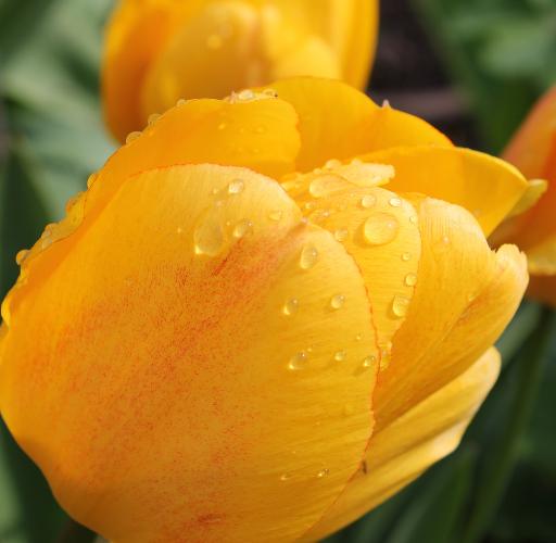 Gelbe Tulpe mit Wassertropfen.